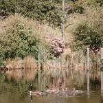 Hendra Barns' resident wildlife on the lake